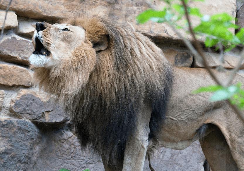 Fort Worth Zoo Lion